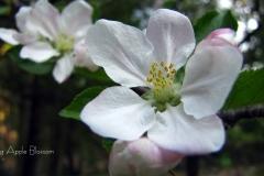 appleblossomlg11