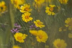 daisies20
