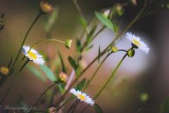 daisy-1000-19