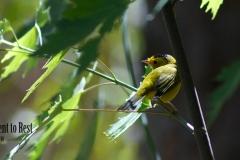 yellow-bird-lg16